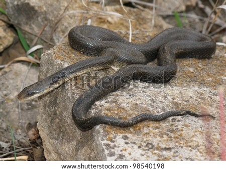 A large black snake crawling over rocks - Black Rat Snake, Pantherophis obsoleta