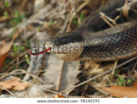 A large black snake flicking its tongue hunting, smelling prey - Black Rat Snake, Pantherophis obsoleta