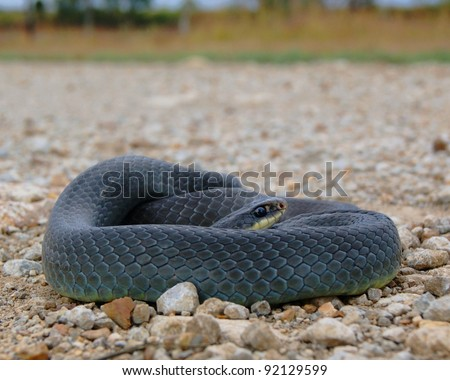 A large blue, black and yellow snake coiled on a gravel road - Eastern Yellow-bellied Racer, Coluber constrictor flaviventris