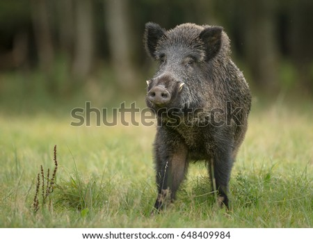 A large boar stops, cautiously sniffing the air #648409984