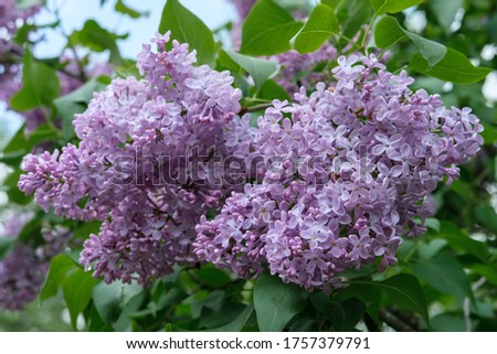 A large bouquet of pink lilac flowers close-up on a background of green leaves.