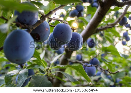 A large branch with lots of plums. Plum fruits on a branch. Growing plums in a plum orchard. Prunus domestica.
