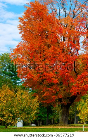 A large, bright, beautiful maple tree blazes with its bright, autumn foliage in Vincent Massey Park - Ottawa, Canada.