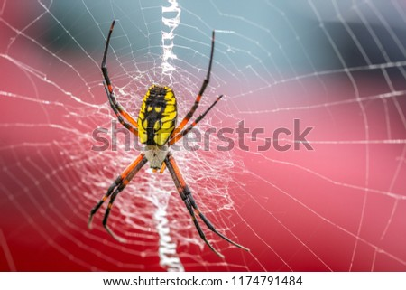 A large bright black and yellow garden spider, with it's orange and black legs, spinning a web between plants in the garden.