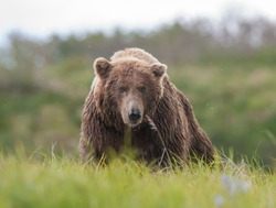 A large brown bear coming over a rise toward photographer