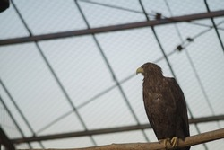 A large brown eagle with a yellow beak. A freedom-loving eagle imprisoned behind bars and deprived of the opportunity to fly. Full-length photo.