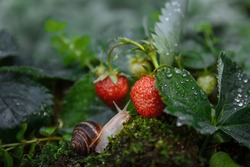 A large brown snail crawls towards a strawberry bush with red berries with green moss in the grass close-up with selected focus on a blurred background, wildlife concept, macro photo, gardening pests