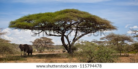 A large bull African Elephant under an Acacia Tree. Serengeti National Park, Tanzania.