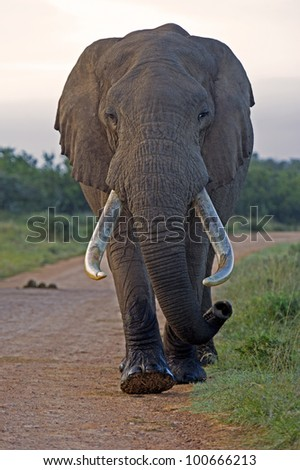 A large Bull elephant carefully approaches the camera