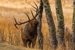 A Large Bull Elk During the Fall Rut