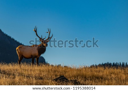 A Large Bull Elk in the Morning During the Rut