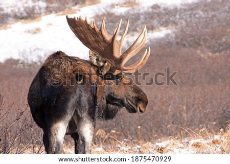 A large bull moose searches for cow moose during the late-autumn 'rut,' or breeding season, in Alaska's Chugach State Park. Imagine de stoc ©