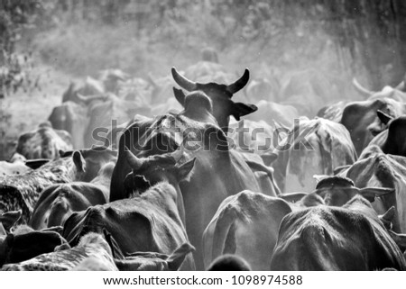 A Large Bull Stands Out Above A Herd Of Cows In Kenya