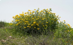 a large clump of crown daisies rises above an abundance of grasses and other wildflowers on a hilltop in the springtime in the negev desert in israel