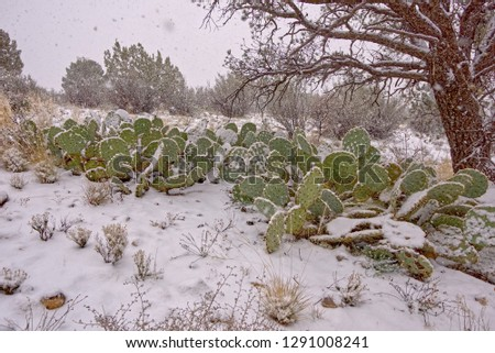 A large cluster of Prickly Pear Cacti getting covered in snow during a blizzard in the high desert of Arizona. The particles in the image are snowflakes captured as they fall from the sky.