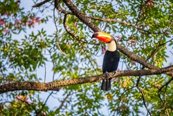 A large colorful tropical toucan typical of Brazil perched on a branch with thorns on the tree in the rainforest
