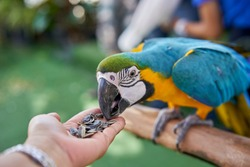 A large colourful parrot eating out a a person's hand.