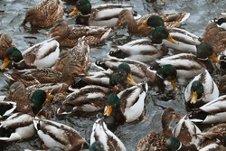 A large concentration of ducks in winter
