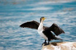 A large cormorant spread its wings on the rock. A cormorant on the river spreads its wings. Bird on the Volga in the city of Saratov. Cobblestone. Against the background of a reservoir. Russia.