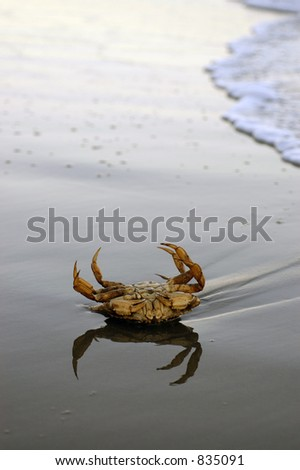 A large crab struggles to right itself in the surf as the sun sinks low toward the horizon
