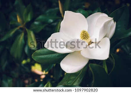 A large, creamy white southern magnolia flower is surrounded by glossy green leaves of a tree. White petal close up
