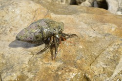 a large crustacean in a shell resting on a stone