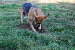 A large dog aggressively digs a hole in a green yard in her search for a gofer.