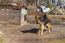 A large dog on a chain barks guarding the territory.