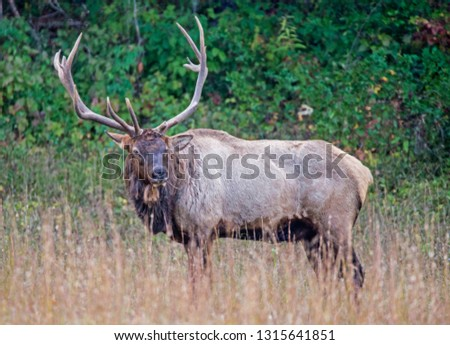 A large elk in The Smokies posing for a picture.