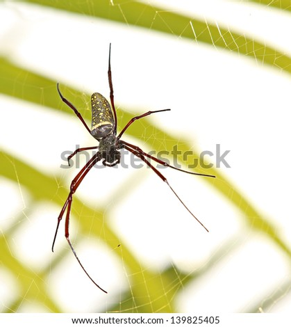 A large female golden orb spider - stock photo