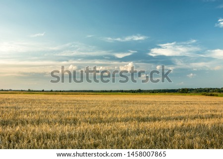 A large field of barley, horizon and white clouds on a blue sky #1458007865