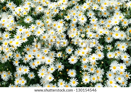 a large field of daisies
