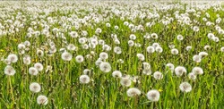 A large field of dandelions. White fluffy dandelions are blooming. Summer background. Medicinal plants. Food for pets.Weed control. Banner. High quality photo