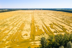 A large field with destroyed ears of dry wheat. Strong squalls of wind knocked down the stalks of wheat and destroyed the grain crop.