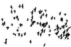 a large flock of black crows flying on the white isolated background