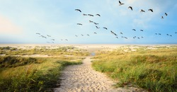 A Large flock of CanvasBacks Ducks Flying Over Wonderful dune beach landscape on the North Sea island Langeoog in Germany with a path,  sand and grass on a beautiful summer day, holidays in Europe.