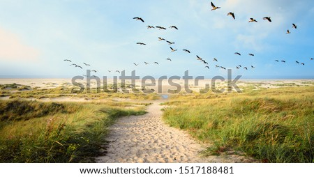 A Large flock of CanvasBacks Ducks Flying Over Wonderful dune beach landscape on the North Sea island Langeoog in Germany with a path,  sand and grass on a beautiful summer day, holidays in Europe. Stock photo ©