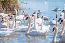 A large flock of graceful white swans swims in the lake., swans in the wild. The mute swan, latin name Cygnus olor.