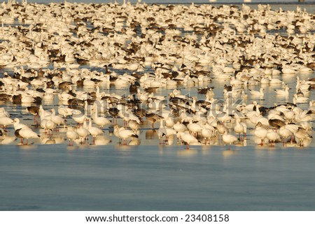 A large flock of snow geese take refuge in the middle of a frozen lake.