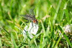 A large fly (butcher beetle) sits on a petal in the green grass. Macro photography.