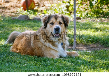 A large, golden, mixed-breed dog rests in the shade of a backyard tree. He is alert and looking at the camera.  #1098979121