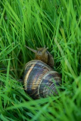 a large grape snail sitting in the tall grass.  the snail's eyes are visible, and on the grass there are beautiful dew drops, in which the sun's rays shine