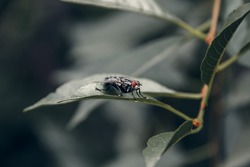 A large gray fly with red eyes sits on a green leaf.  A gray fly lurked on a leaf. Fly close up.