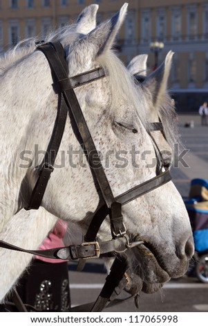 A large gray horse wearing a halter.