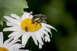 A large green beetle drives a bee off a chamomile flower.