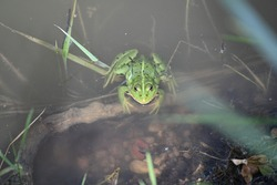 a large green frog floats in cloudy water