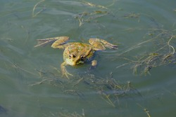 A large green frog swims in the water along the lake