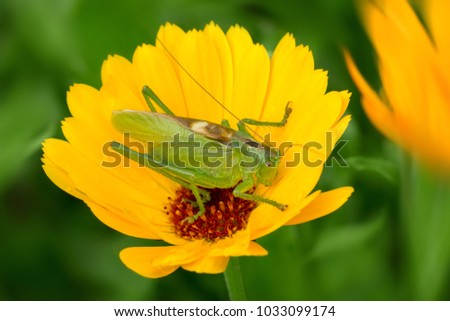 A large green grasshopper, a locust, sits on a yellow flower on a sunny day. soft selective focus. Macro