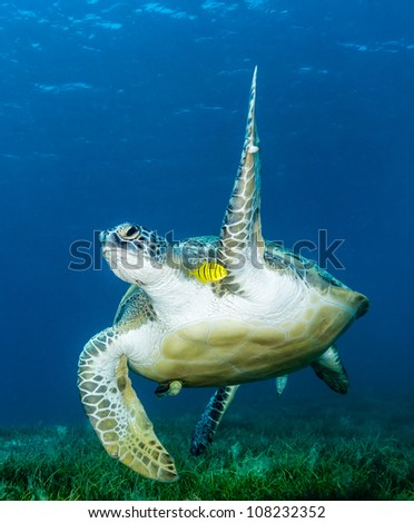 A large Green Turtle waves a flipper at the camera as it swims past over a bed of seagrass