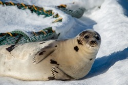 A large grey adult harp seal moving along the top of ice and snow.  You can see its flippers, dark eyes, claws and long whiskers. The gray seal has brown, beige and tan fur skin with a shiny coat.